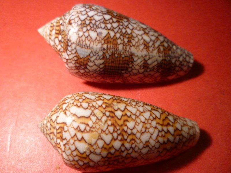 Conus (Cylinder) textile   Linnaeus, 1758 Textil10