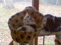 MELODIE - 2 ans - Femelle blanche et marbrée marron Image111