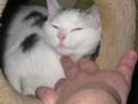MELODIE - 2 ans - Femelle blanche et marbrée marron Img_1720