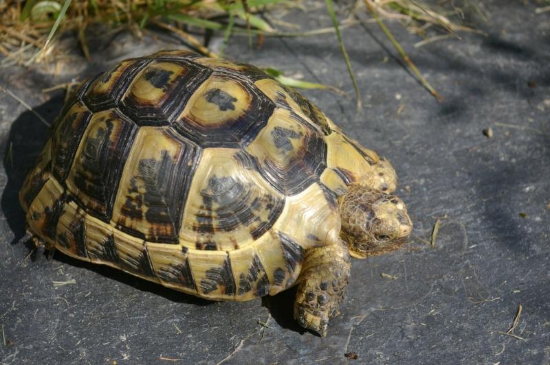 Pouvez-vous m'identifier cette tortue Imgp3710