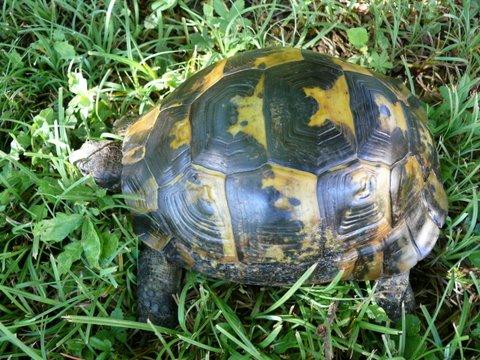 pouvez-vous reconnaître cette tortue merci P1020912