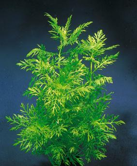 Plantes naturelles dans un 2L? Hygrop11