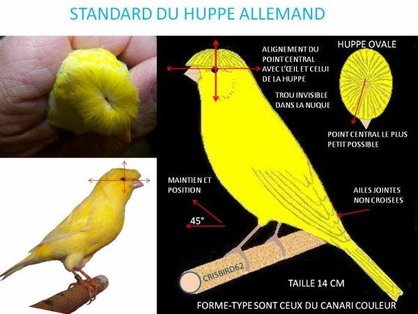 CANARI STANDARD HUPPE ALLEMAND Sha210