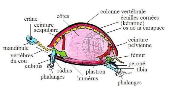 Anatomie des tortues Anat110