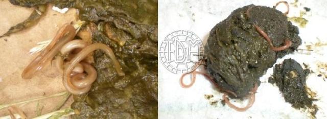 Les maladies principales chez les tortues Ascari10