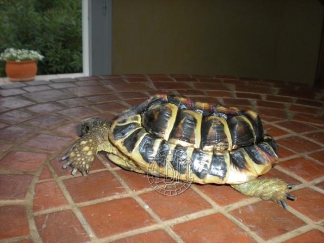Les maladies principales chez les tortues Casi_p10
