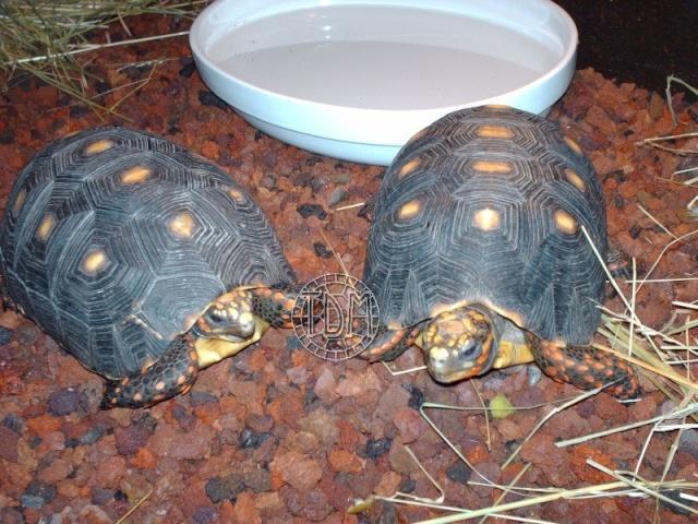 La tortue charbonnière (Chelonoidis carbonaria) Cc110