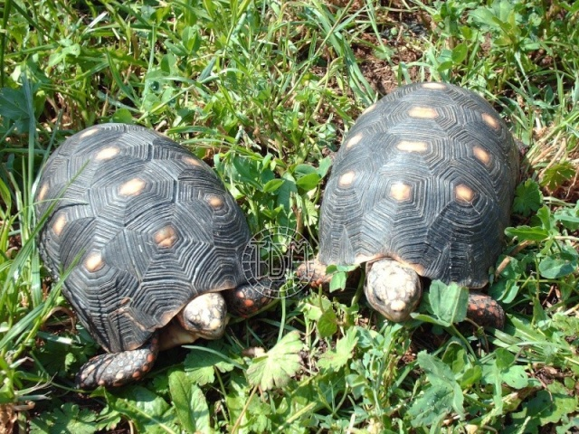 La tortue charbonnière (Chelonoidis carbonaria) Cc210