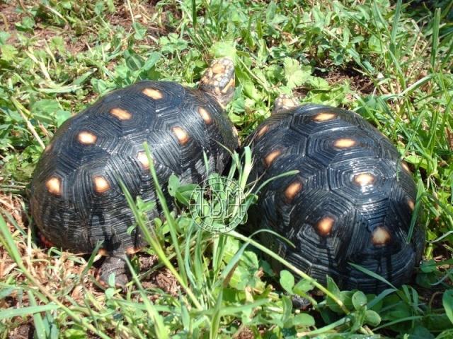 La tortue charbonnière (Chelonoidis carbonaria) Cc310