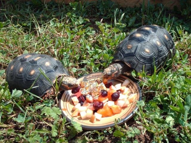 La tortue charbonnière (Chelonoidis carbonaria) Cc410
