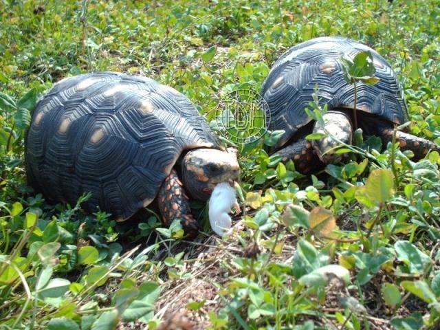 La tortue charbonnière (Chelonoidis carbonaria) Cc510