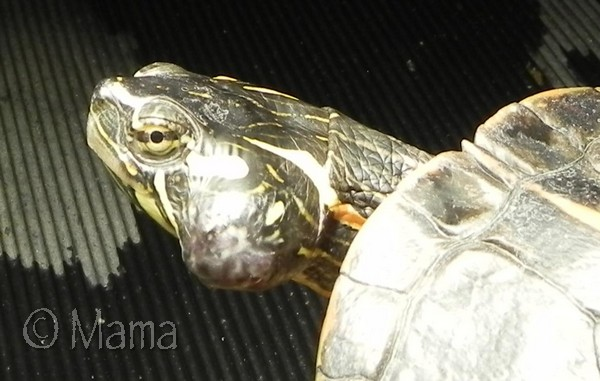 Les maladies principales chez les tortues Chance49