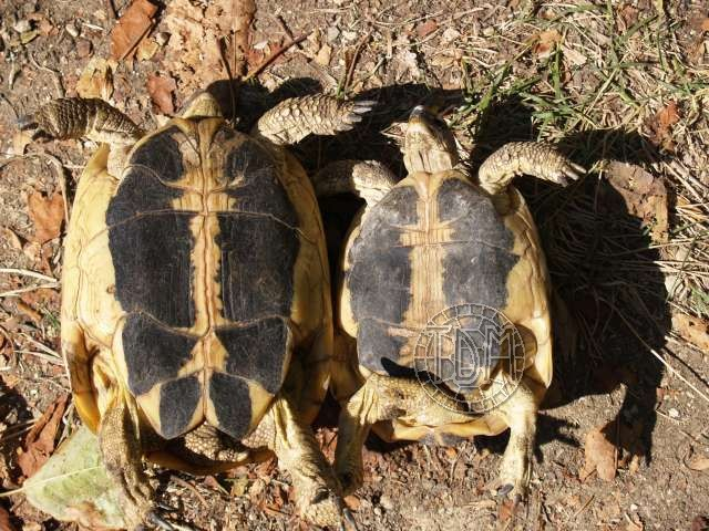 Sexage des Tortues Hermann Femell10