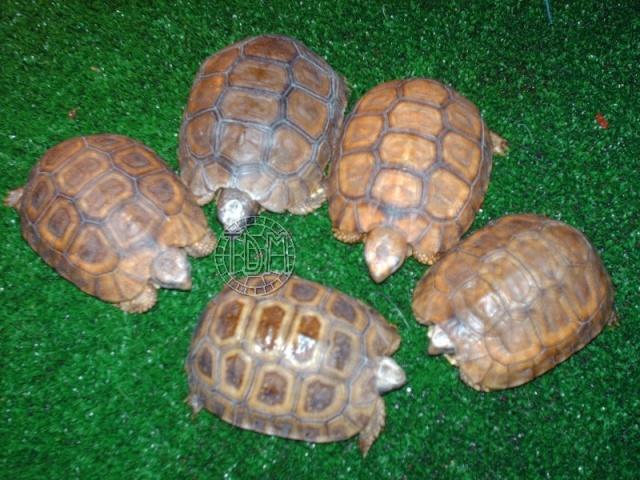 La tortue articulée de Bell (Kinixys belliana ssp) K210