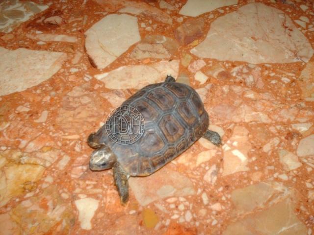 La tortue articulée de Bell (Kinixys belliana ssp) K410