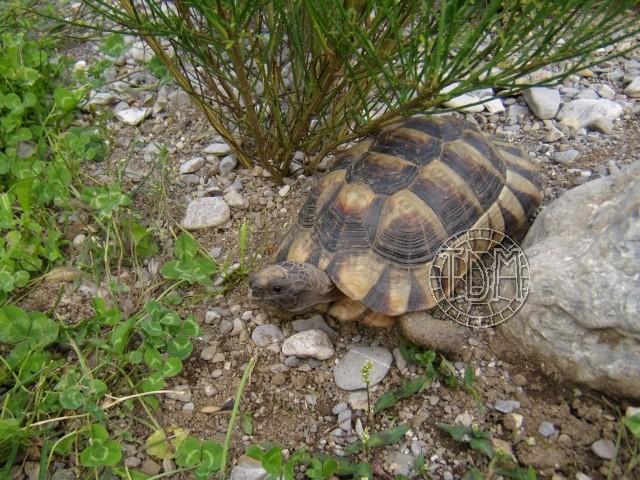 La tortue marginée (Testudo marginata) Margi110
