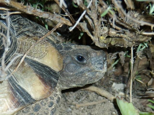 La tortue marginée (Testudo marginata) Margi210