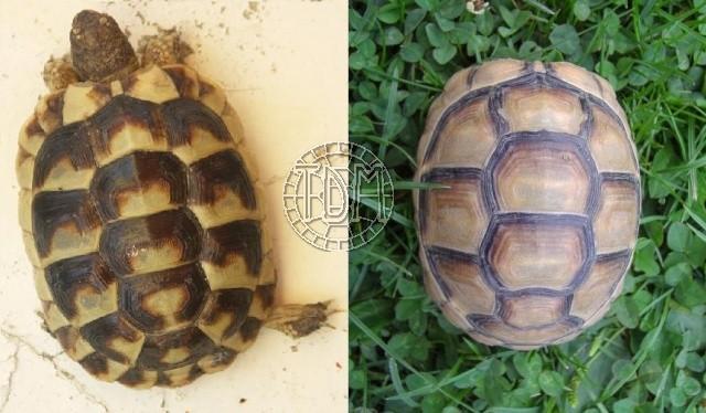 La tortue marginée (Testudo marginata) Margi310