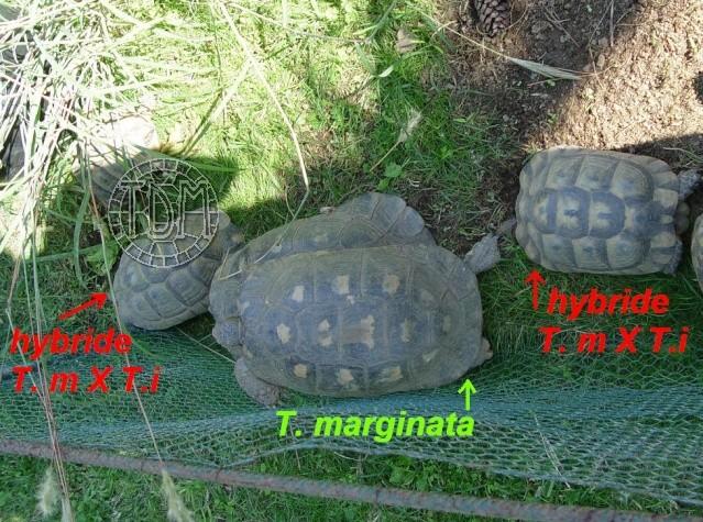 La tortue marginée (Testudo marginata) Margi510