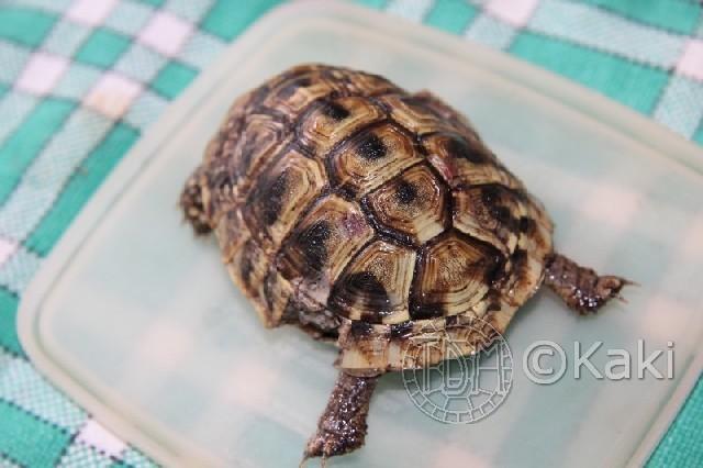 Les principaux prédateurs de nos tortues Morch210