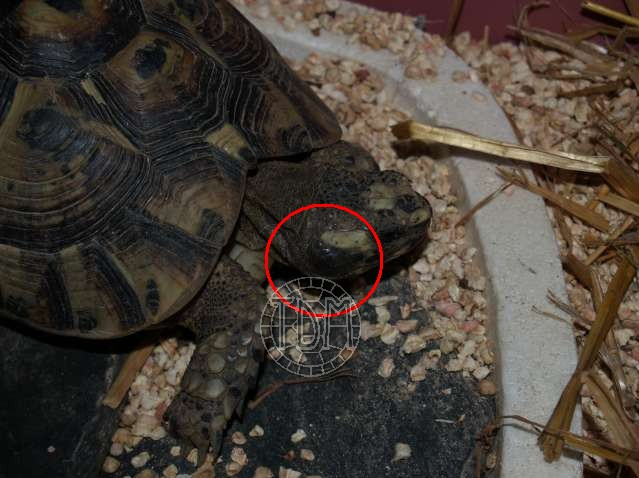 Les maladies principales chez les tortues Otite10