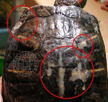 Les maladies principales chez les tortues Pahto_10