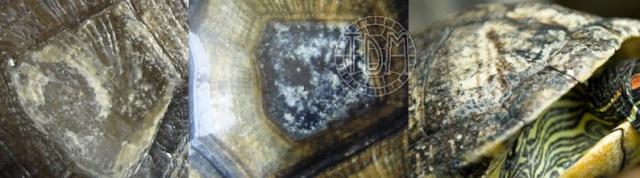 Les maladies principales chez les tortues Patho_10