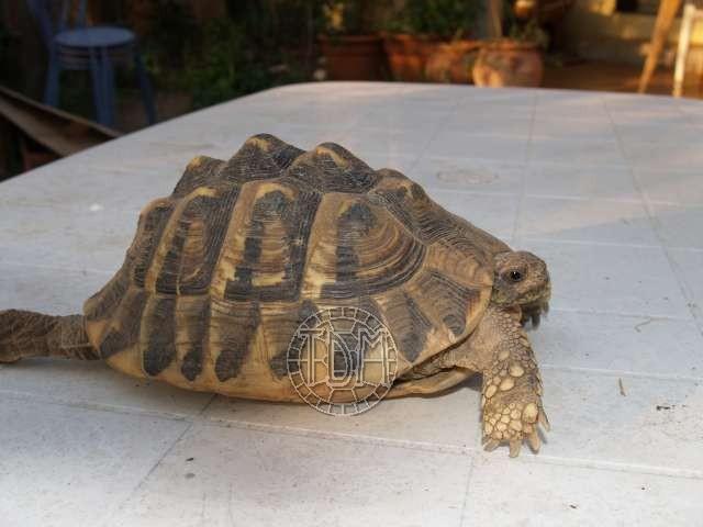Les maladies principales chez les tortues Patho_12