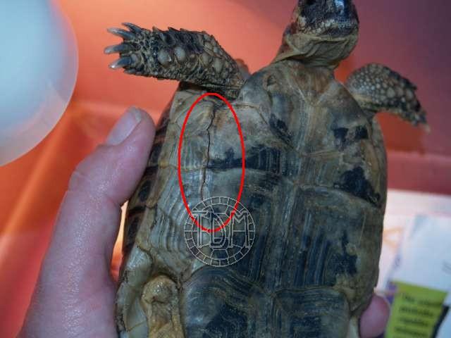 Les maladies principales chez les tortues Patho_13
