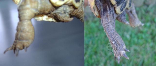 Les maladies principales chez les tortues Patho_16