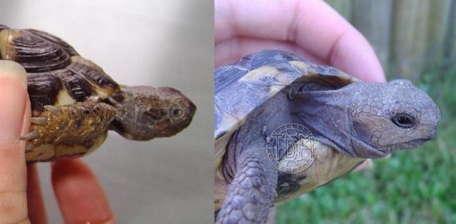 Les maladies principales chez les tortues Patho_17