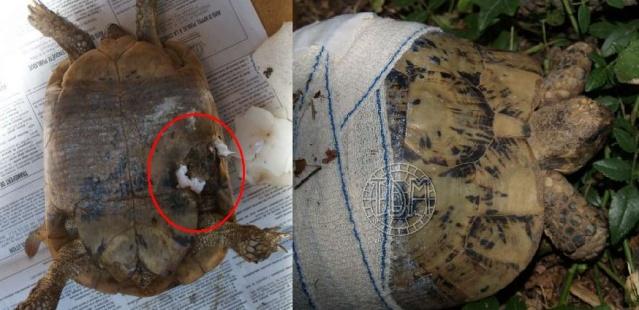 Les principaux prédateurs de nos tortues Patho_18