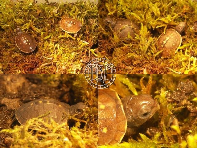 La Tortue-Boîte à Trois Doigts (Terrapene carolina triunguis) Petite10