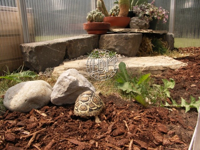 Identification tortue-léopard Pexo1010