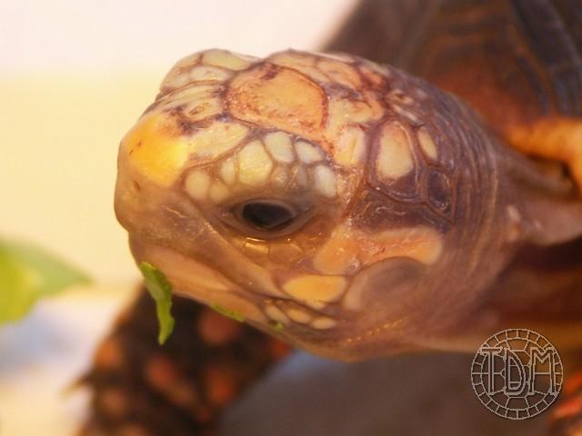 La tortue charbonnière (Chelonoidis carbonaria) Pict0216