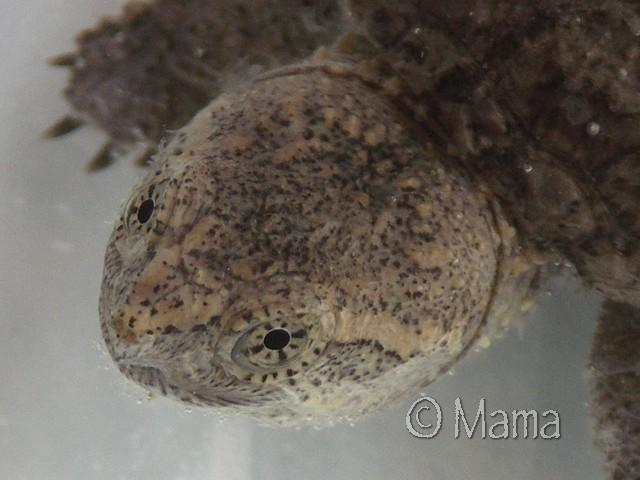 Chelydra serpentina Serpen14