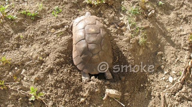 La tortue marginée (Testudo marginata) Smoke110