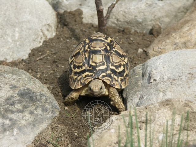 La tortue léopard (Stigmochelys pardalis ssp) Sp1010