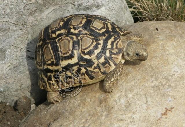 La tortue léopard (Stigmochelys pardalis ssp) Sp110