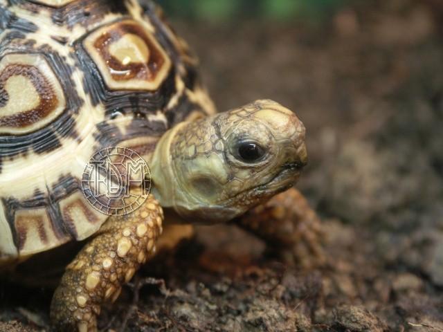 La tortue léopard (Stigmochelys pardalis ssp) Sp210