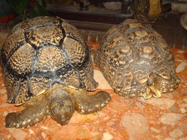 La tortue léopard (Stigmochelys pardalis ssp) Sp310