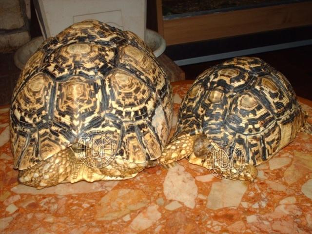 La tortue léopard (Stigmochelys pardalis ssp) Sp410
