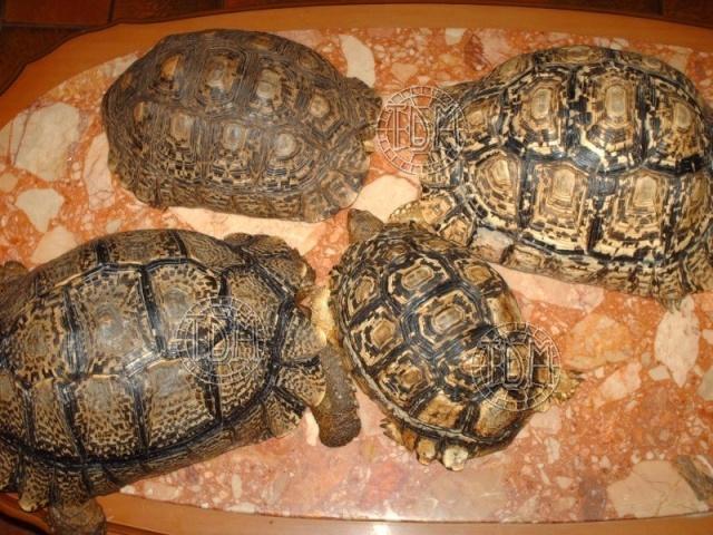 La tortue léopard (Stigmochelys pardalis ssp) Sp510