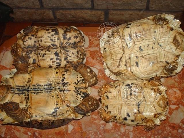 La tortue léopard (Stigmochelys pardalis ssp) Sp610