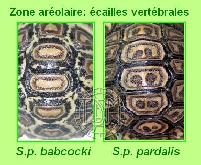 La tortue léopard (Stigmochelys pardalis ssp) Sp710