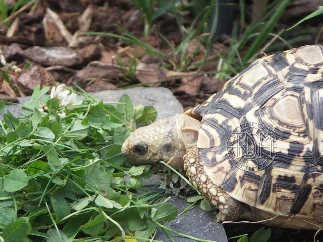 La tortue léopard (Stigmochelys pardalis ssp) Sp810