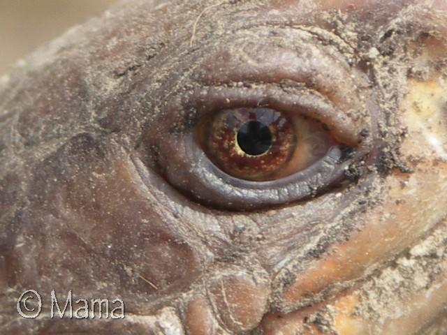 Photos macro d'iris de Terrapene Terrap40