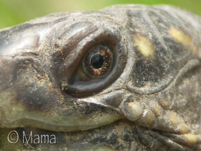 Photos macro d'iris de Terrapene Terrap42