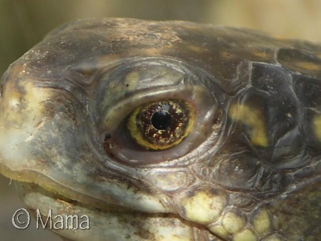 Photos macro d'iris de Terrapene Terrap43