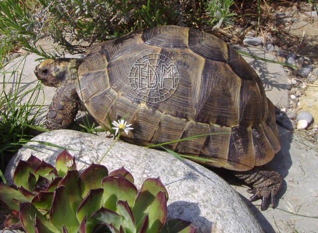 La tortue levantine (Testudo ibera) Ti110